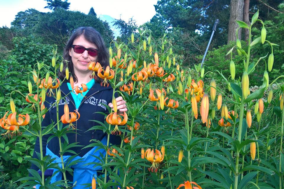 Лилии цветут . Ботанический сад Орхус Дания