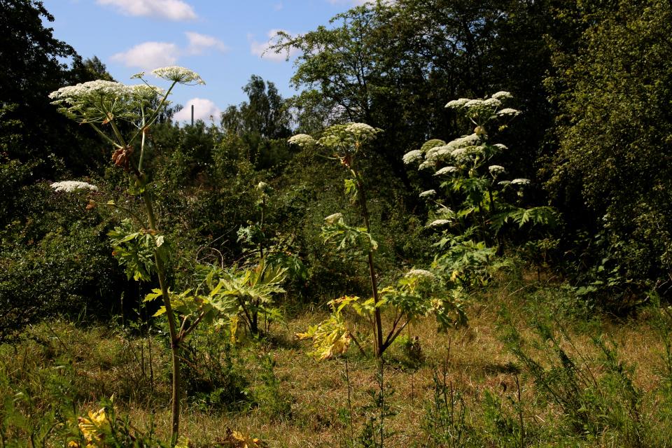 Гигантские борщевики на опушке леса, Дания