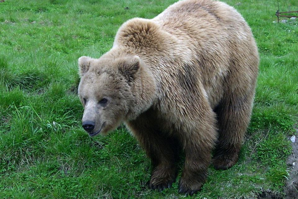 Медведь в Скандинавском парке Skandinavisk dyrehave, Дания