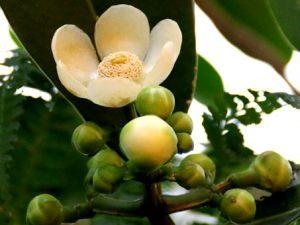 Клузия облачная – новооткрытый вид растений