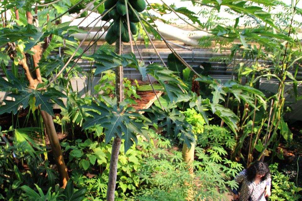 Папайя с плодами в тропическом куполе ботанического сада Орхус, Дания