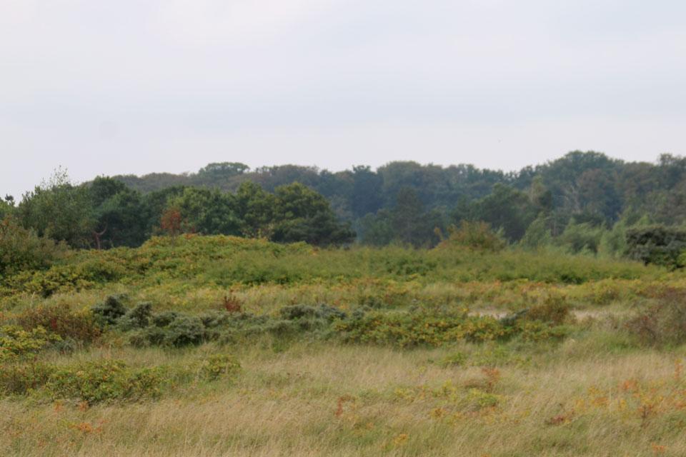 Облепиха и шиповник проросли среди травы