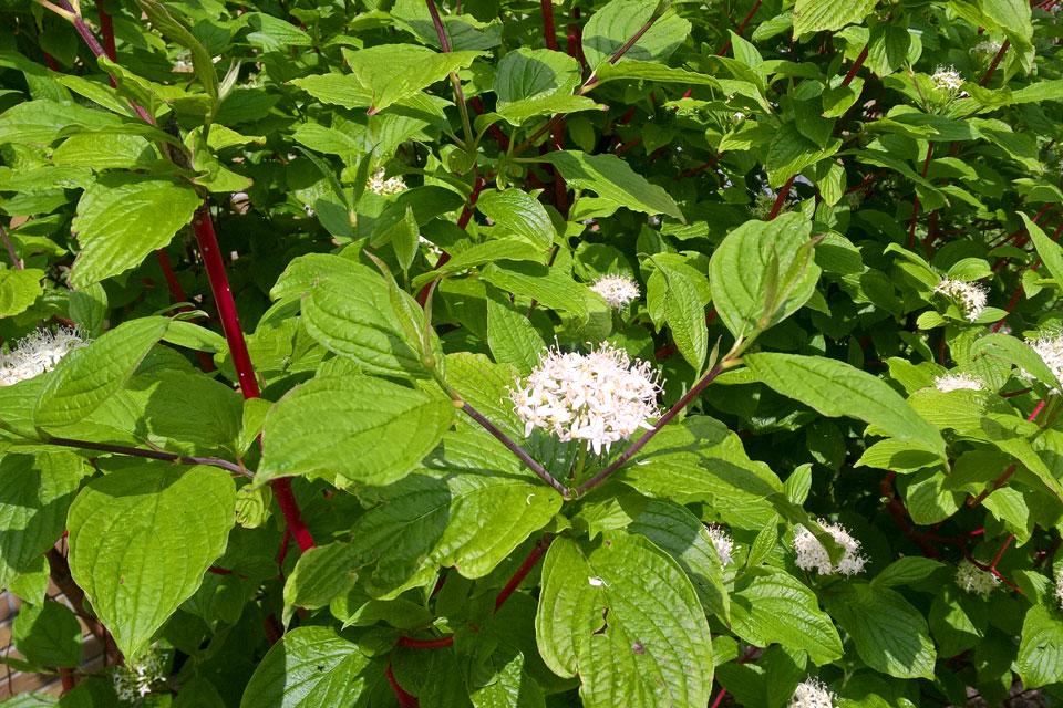 Дерен красный цветет в моем саду