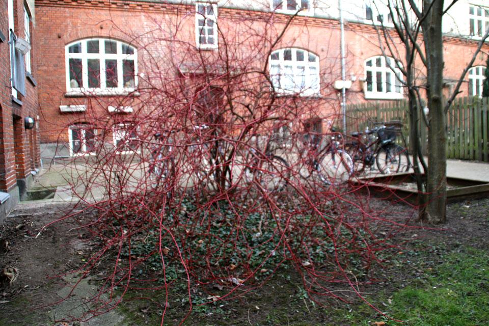 Куст красного дерена во дворе старого жилого комплекса