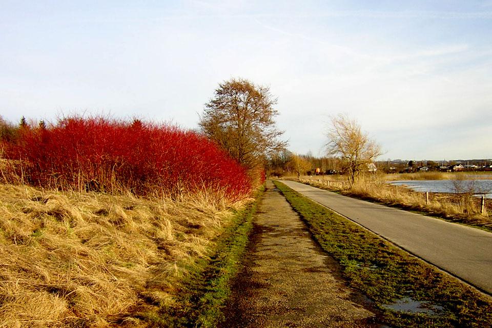 Дерен красный - ярко-красные стебли жизнерадостные оттенки