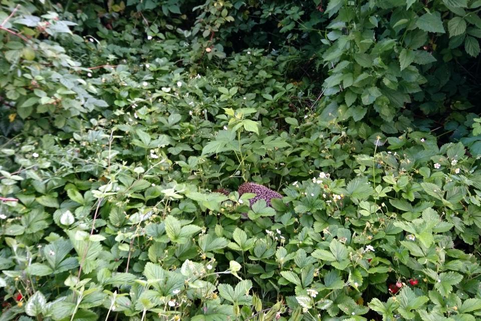 Ежики теперь постоянно живут в моем саду.