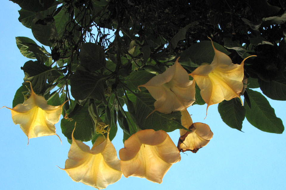 Золотистая бругмансия / Brugmansia aurea