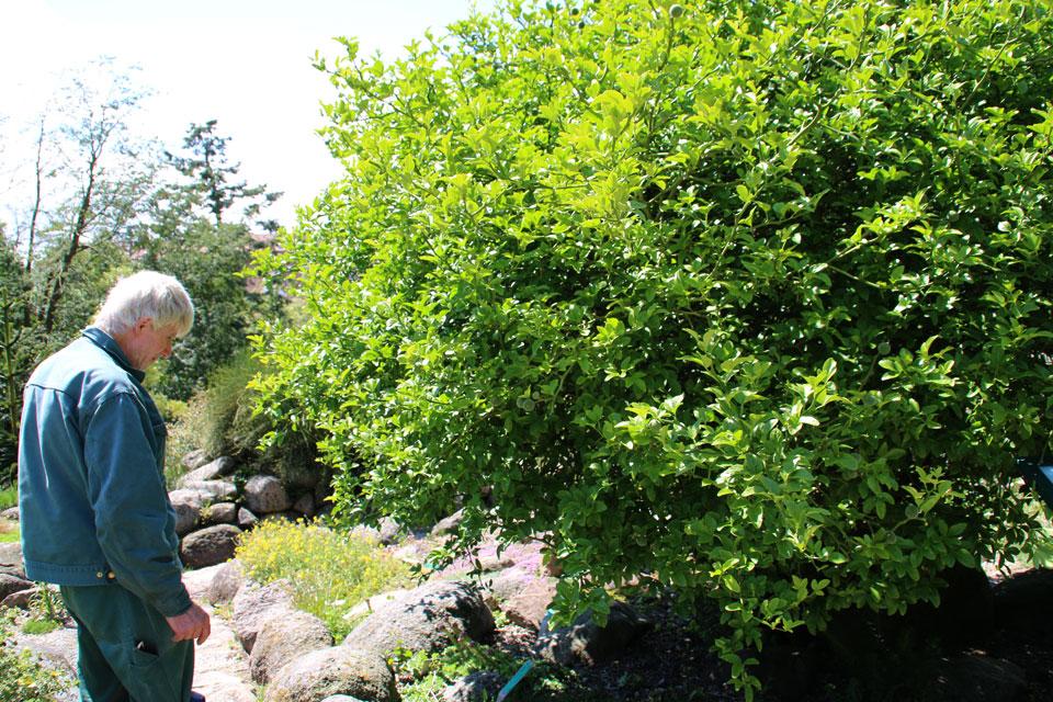 Северный цитрон в ботаническом саду