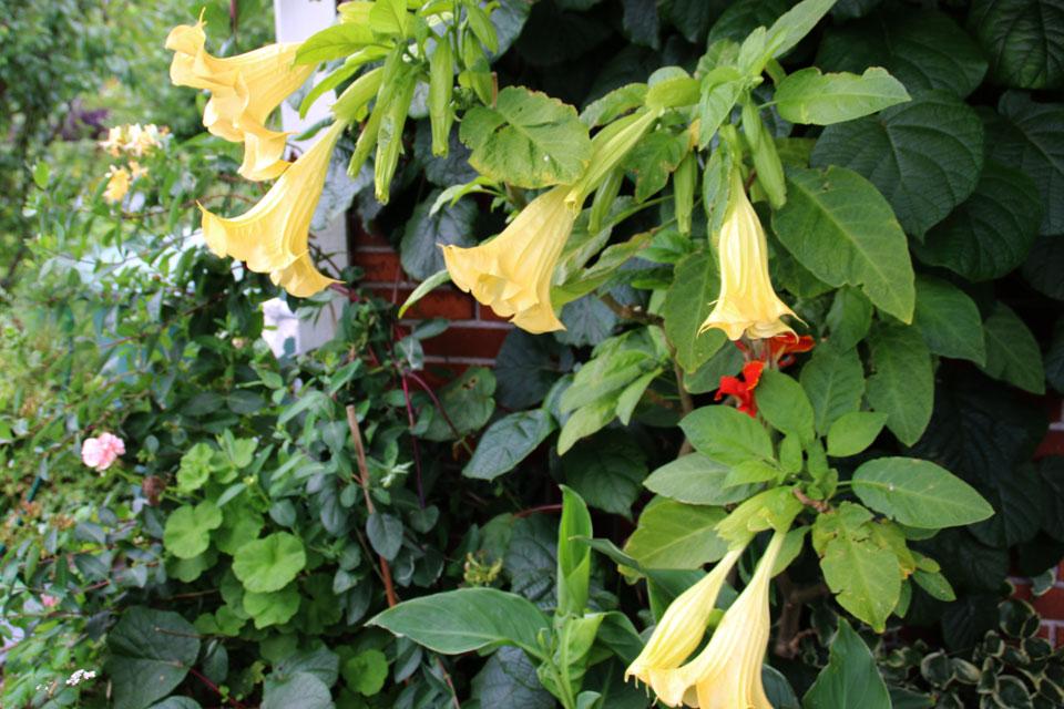 Желтоцветная бругмансия ароматная или бругмансия душистая