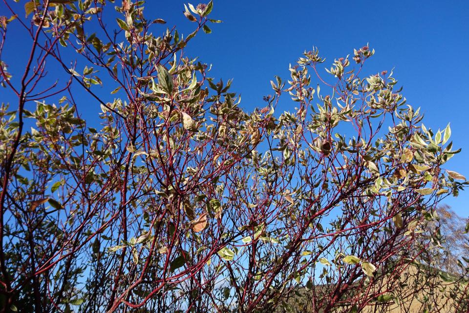 Кусты дерена начинают сбрасывать листья