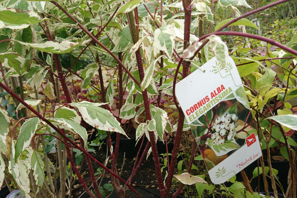 Дерен белый, сорт elegantissima с пестрыми листьями и красными стеблями
