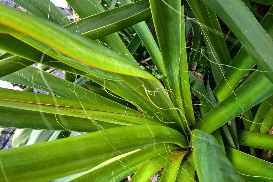 Юкка Нитчатая (лат. Yucca filamentosa)