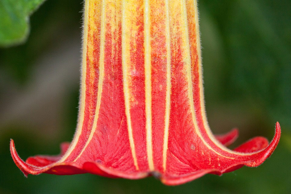 Бругмансия кровавая Brugmansia sanguinea
