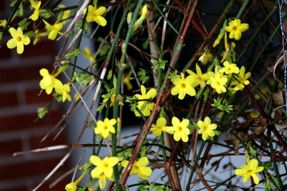 Jasminum nudiflorum