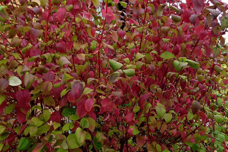 Осенняя листва, дерен красный