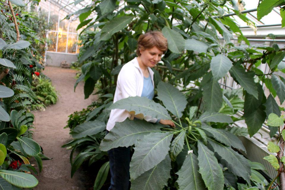 Древесная бругмансия / Brugmansia arborea