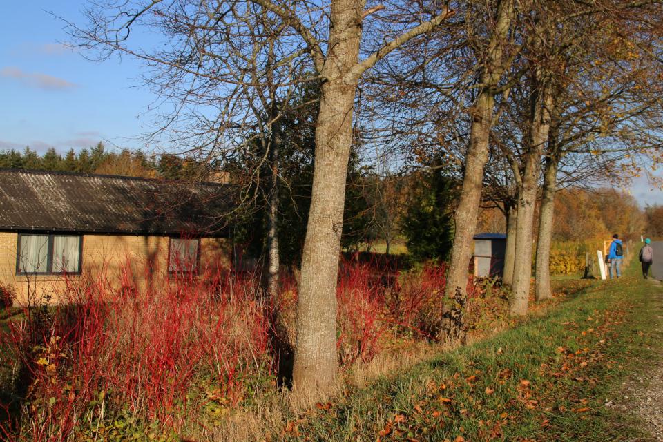 Кусты красного коруса возле дома в г. Ормслев (Ormslev), Дания. Фото 8 нояб. 2020