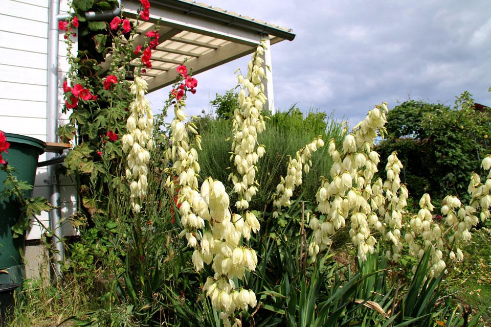 Юкка нитчатая цветет в моем саду