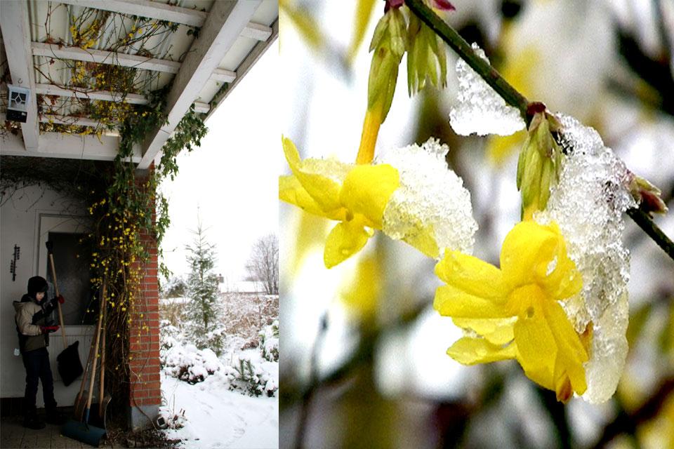 Зимний жасмин - это изящное и очень декоративное растение рода Жасмин