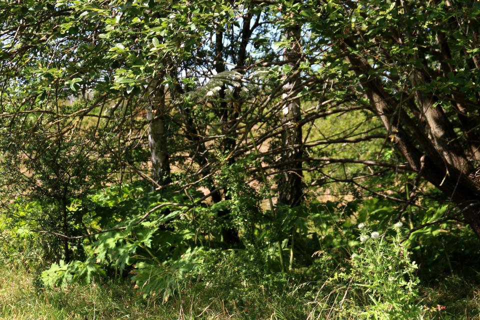борщевик замаскировался среди деревьев
