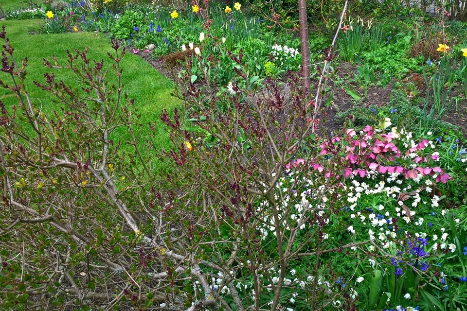 Ветренница дубравная цветет в саду