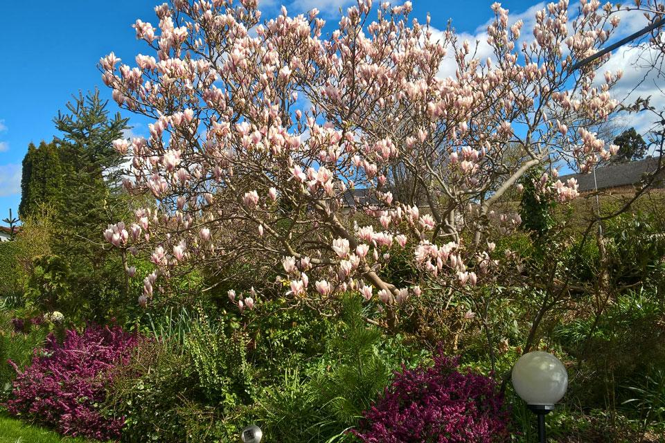 Магнолия Суланжа - примадонна цветущих деревьев