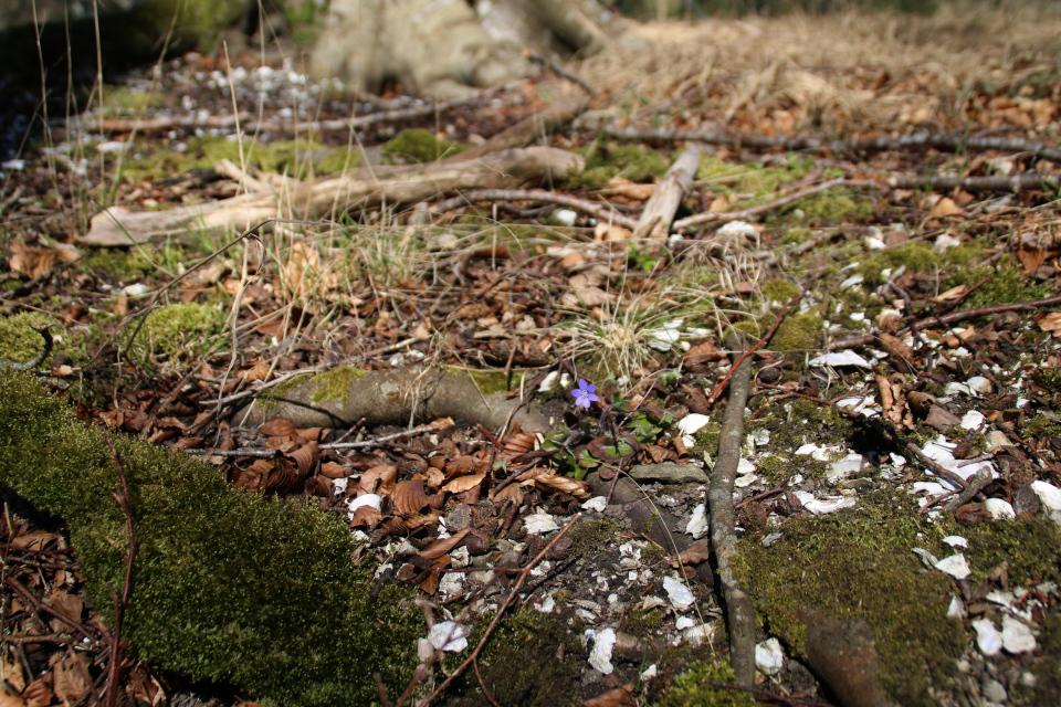 Печёночница благородная дания (дат. blå anemone, лат. Hepatica nobilis