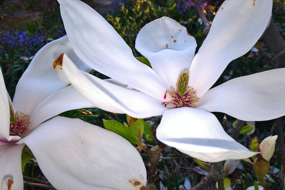 У Магнолии Суланжа огромные цветы