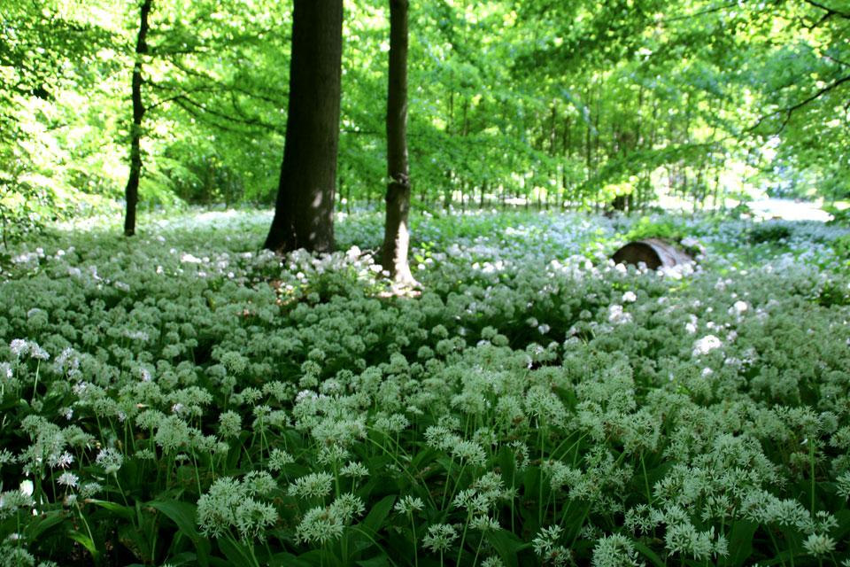 Черемша цветет с середины мая до начала июня в Дании.