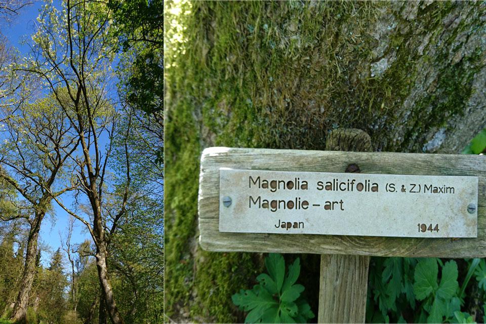 Иволистная магнолия (Magnolia salicifolia)