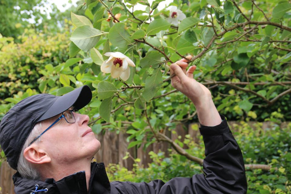 Магнолия Зибольда (лат. Magnolia sieboldii, дат. Åkandemagnolia)