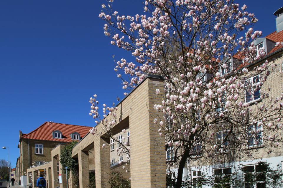Магнолия Суланжа цветет в г. Хорсенс, Дания. Фото 9 апр. 2019