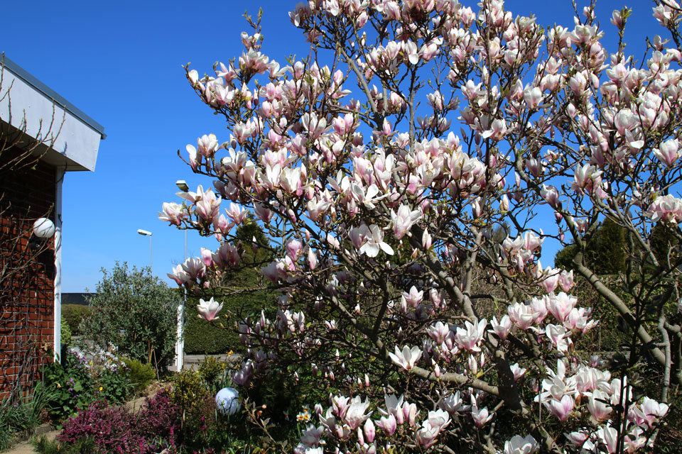 Цветущая магнолия Суланжа / Magnolia x soulangeana