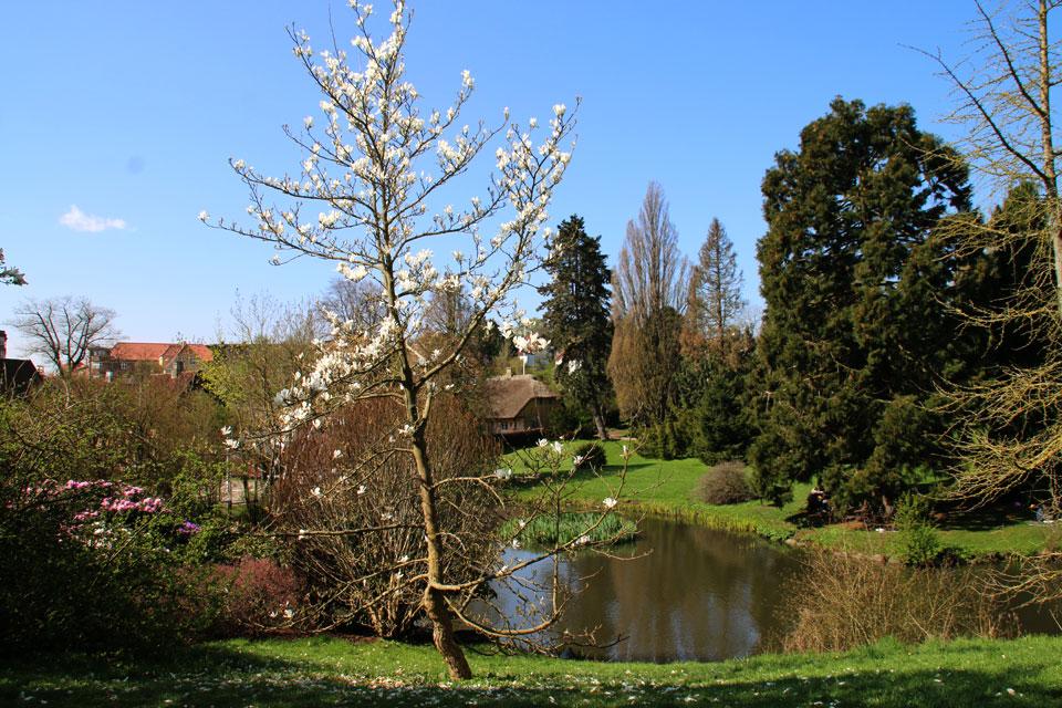 Магнолия голая или Магнолия обнаженная (Magnolia denudata)