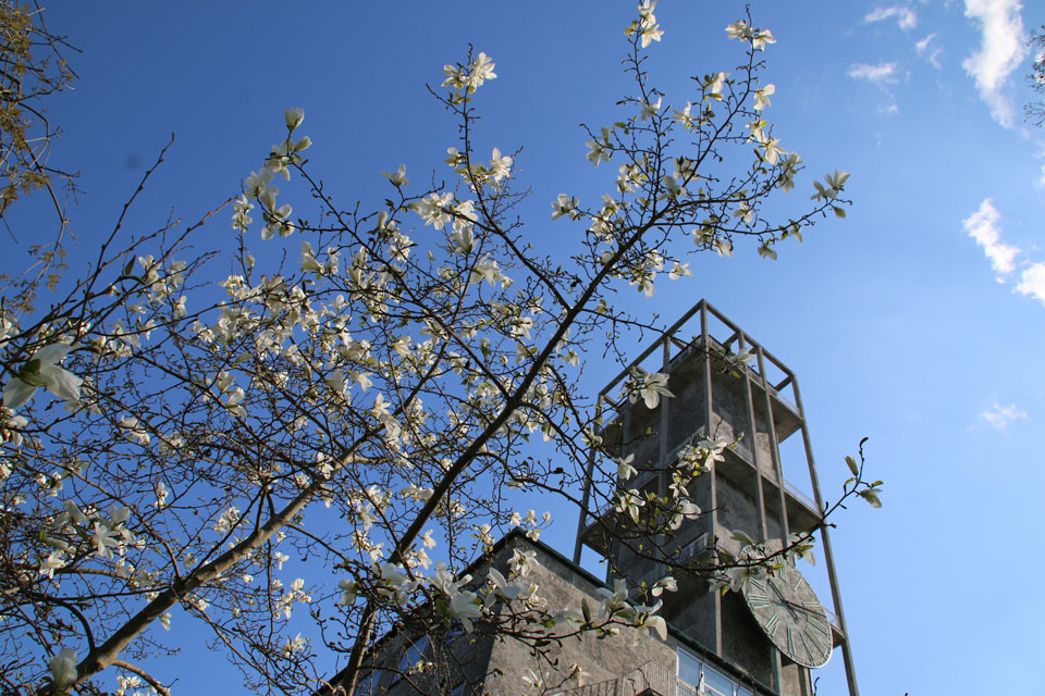 Цветущая Магнолия кобус около башни ратуши г. Орхус, Дания