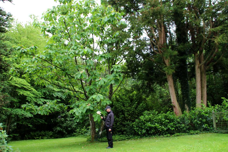 Магнолия обратнояйцевидная в частном саду, г. Гаммель Рю /Gl Rye, Дания