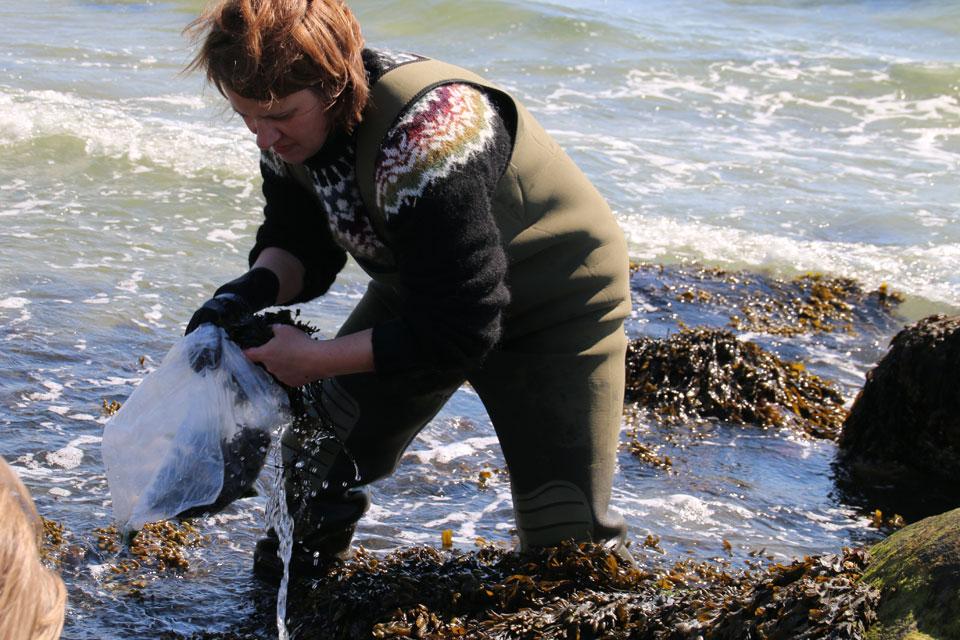 Анита Диец собирает водоросли Фукус пузырчатый