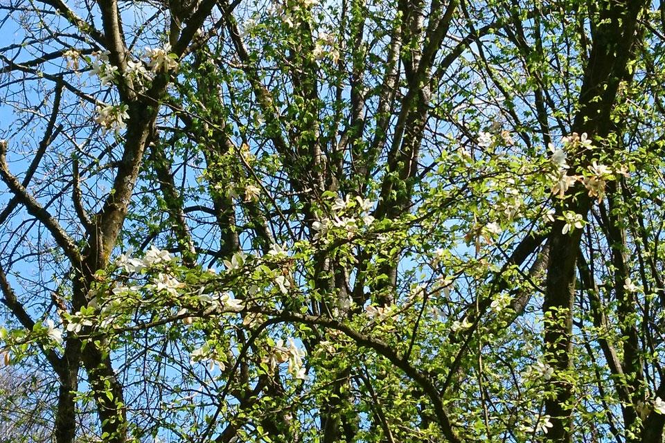 Magnolia salicifolia Иволистная магнолия