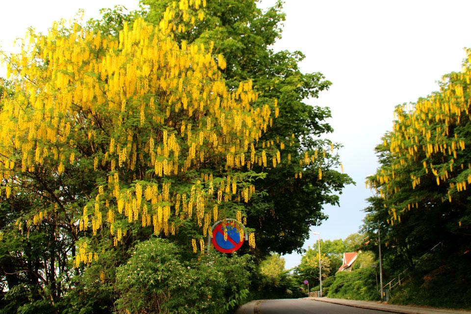 Бобовник - желтый дождь растет вдоль дорог и часто украшает частные дома в Дании