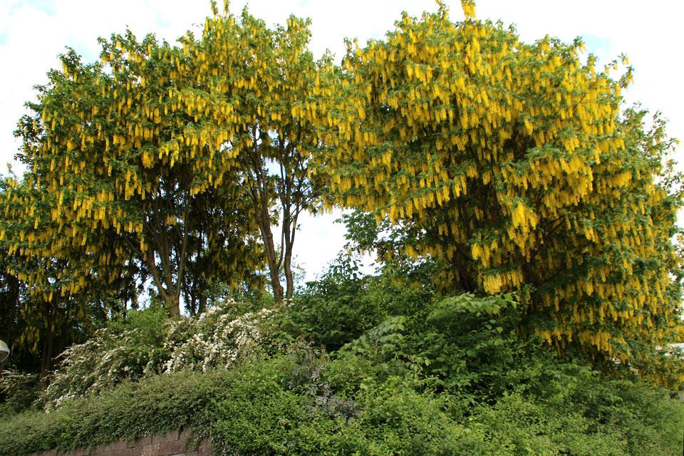 Золотой дождь в Дании- цветет бобовник