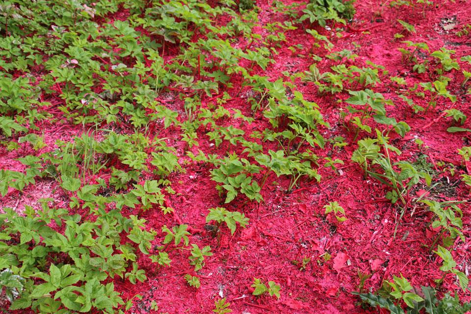 Прорастает Сныть обыкновенная (Aegopodium podagraria L.)
