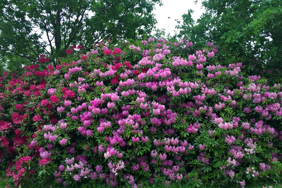 Обильноцветущие цветущие рододендроны