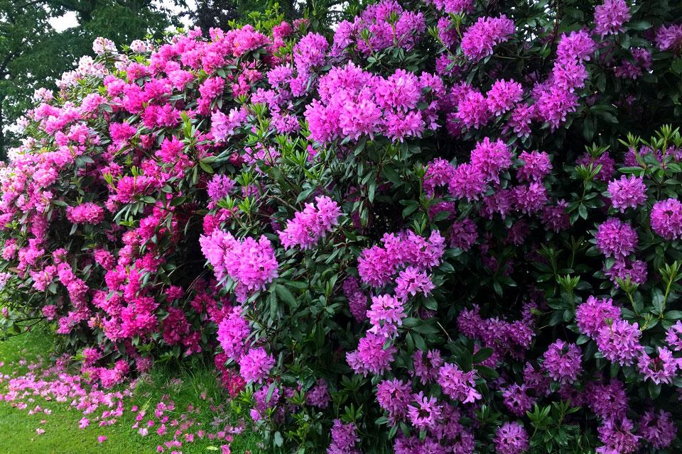 Рододендроны на пике цветения