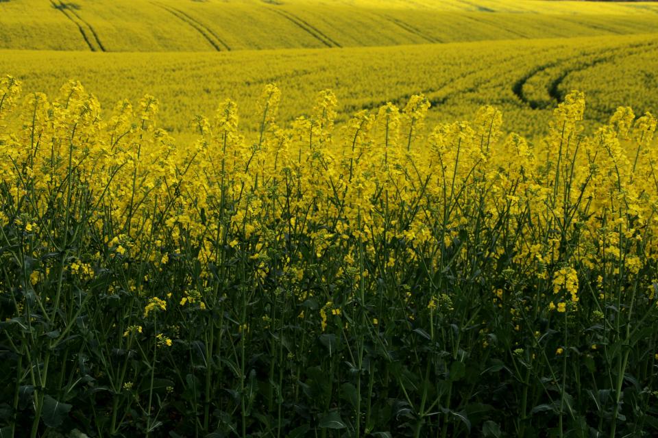 Цветы рапса ярко желтого цвета. Соцветие - длинная рыхлая кисть
