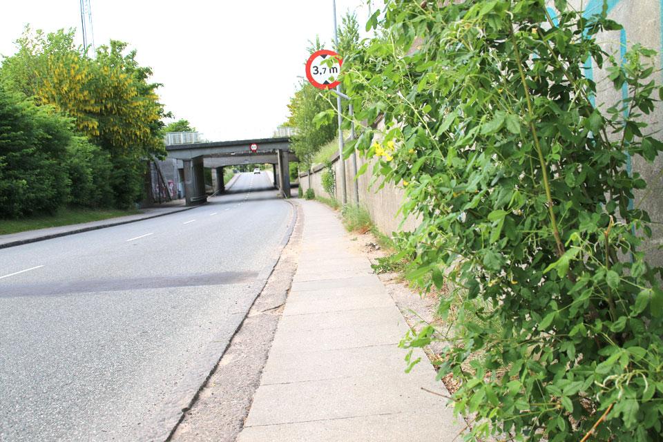 Бобовник - желтый дождь хорошо приживается к датскому климату