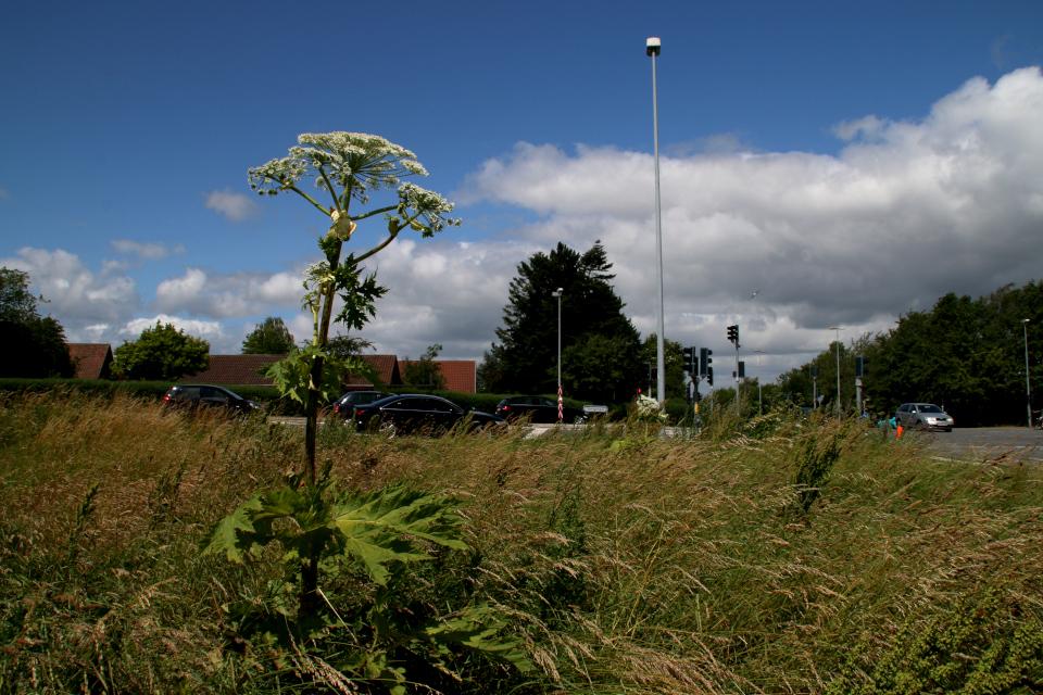Борщевик Сосновского (Heraclеum sosnоwskyi) на пустыре около дороги, г. Орхус, Дания