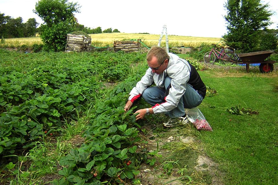 самосбор клубники в огороде частного дома