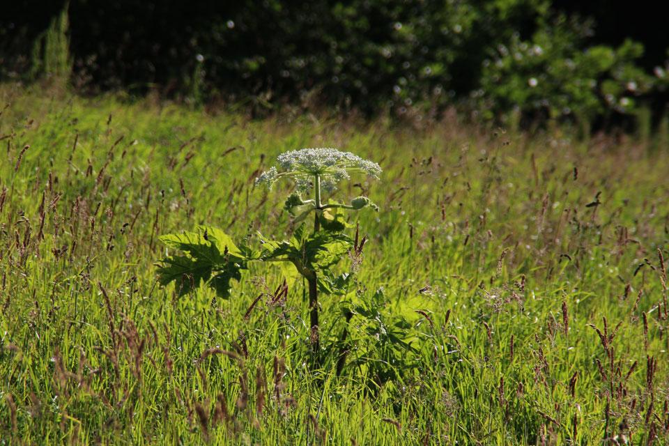 Борщевик в Дании - Heracleum persicum / Персидский борщевик зацветает на лугу