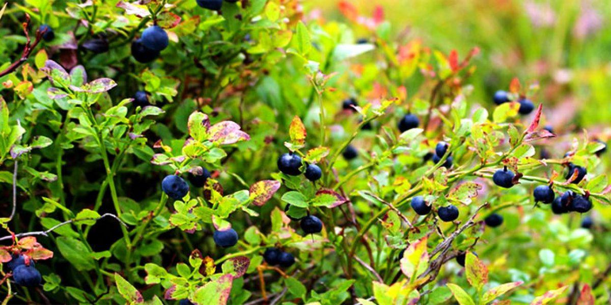 Как выбирать саженцы ягодных кустарников