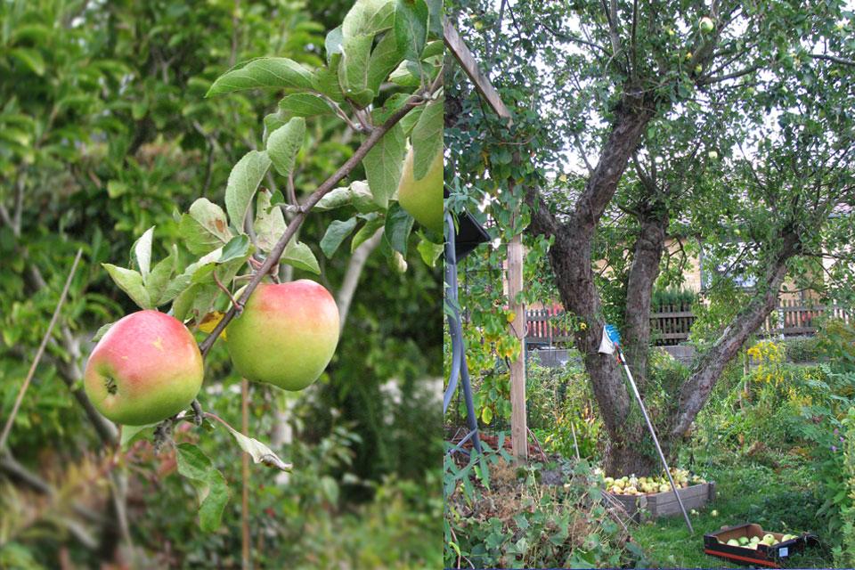 Яблоки сорт Филиппа - урожай